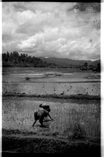 Apatani women transplanting in the paddy fields